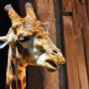 Profile girafa