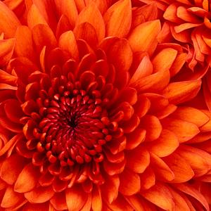 Profile chrysanthemum